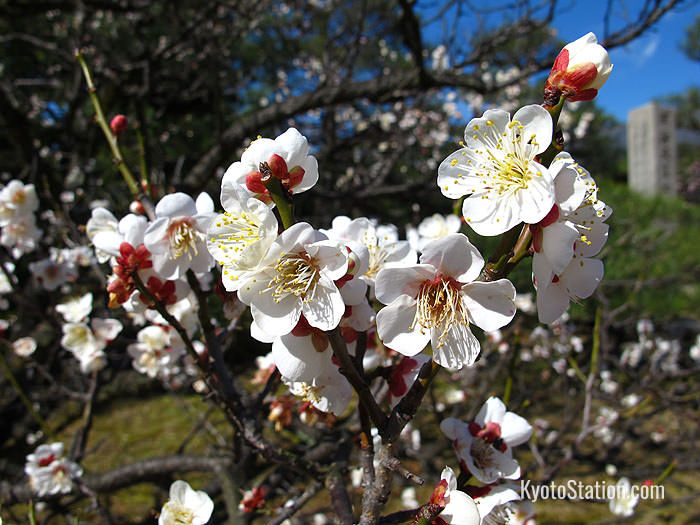 Unlike cherry blossom which has no scent, plum blossom has a sweet aroma reminiscent of wine
