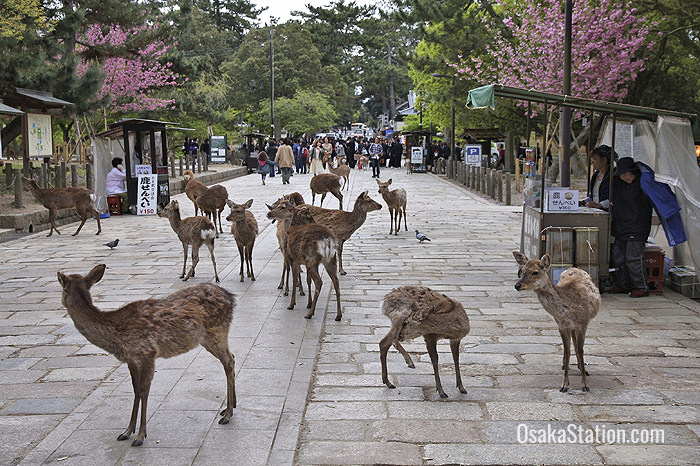 Deer roam free in Nara Park